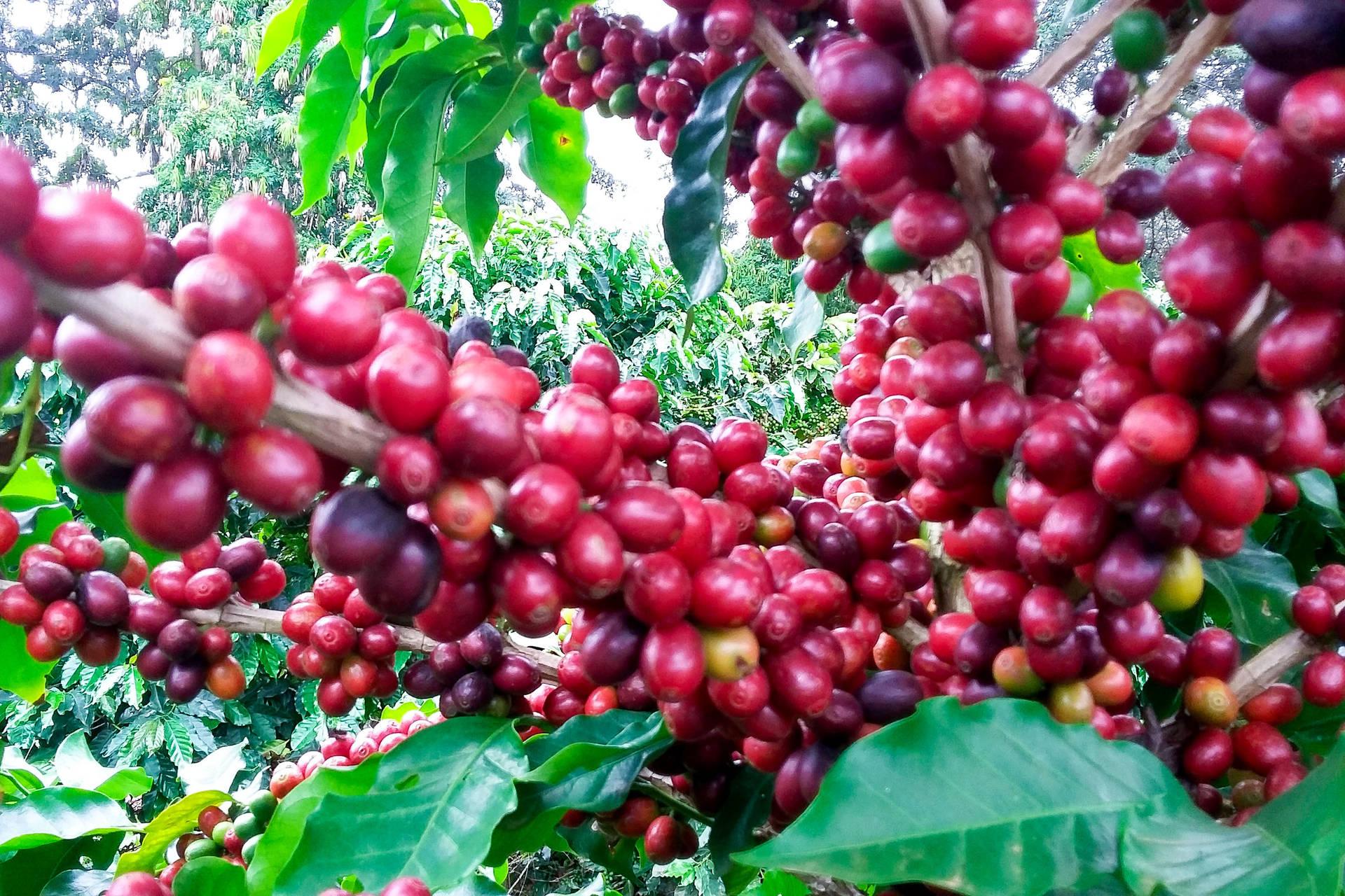 A recomendação aos produtores que amontoaram terra no tronco dos cafeeiros é retirar imediatamente a proteção, procedimento que deve ser feito com as mãos para evitar danos às plantas