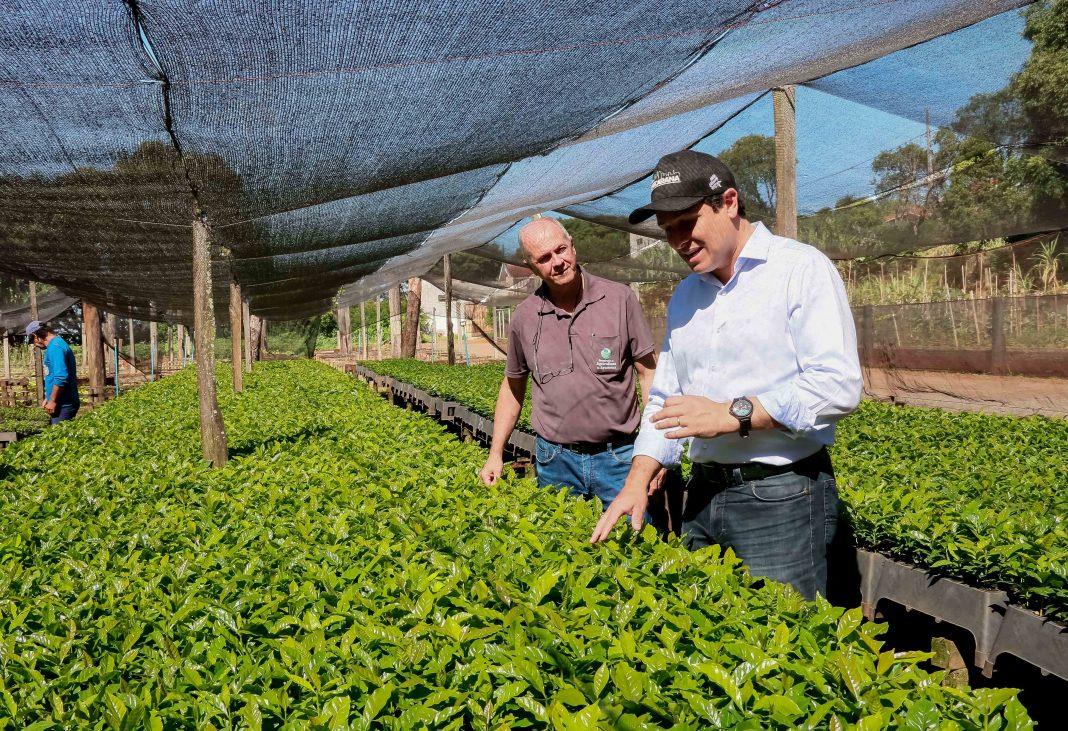A partir desta semana os novos cafezais ganharão o reforço de 30 mil mudas, que foram produzidas no Horto Municipal e serão distribuídas para os agricultores cadastrados.