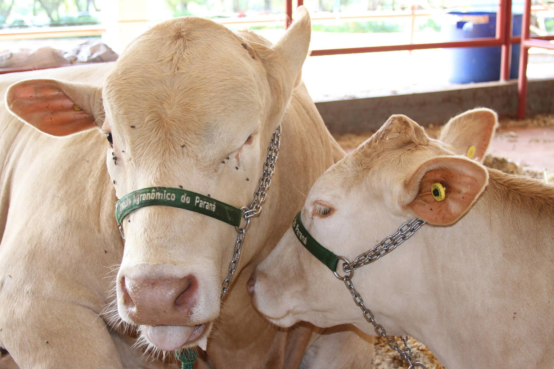 Em 2020, o visitante do Show Rural confere nove opções, dos grupos comerciais carioca, preto e branco, e ainda poderá conhecer 40 animais Purunã para exposição e comercialização